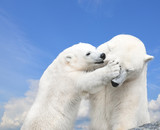Young cute polar bear playing with his mother
