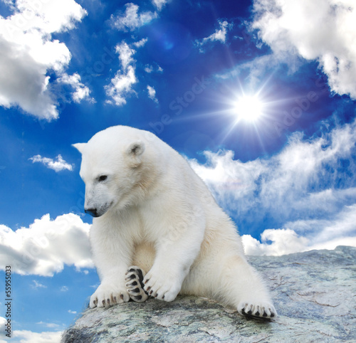 Young polar bear swimming