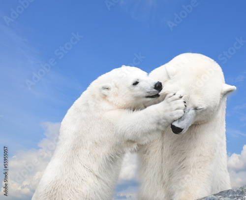 Fototapeten Eisbar Young cute polar bear playing with his mother
