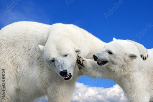 Young polar bear playing with his mother