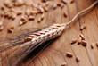 spiga di grano con chicchi