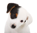 Portrait of Jack Russell puppy