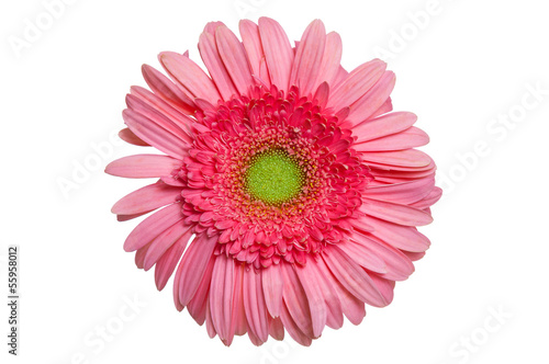 Foto op Canvas Madeliefjes Pink Gerber Daisy