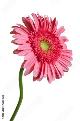 Papiers peints Gerbera Pink Gerber Daisy