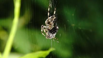 Spinne frißt eine Fliege