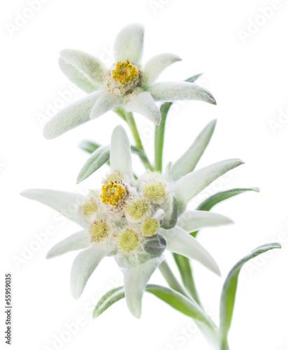 Leinwanddruck Bild Edelweiss