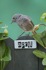 Bird perched on an April decorated fence