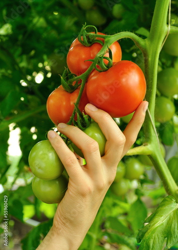 women's arm holding red tomato