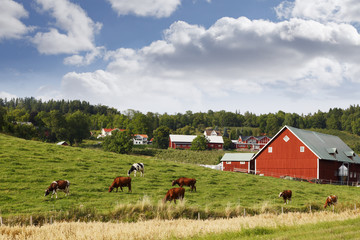 old rural country-side with red farms and cattle