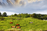 cattle grazing in peaceful country-side, rural sweden