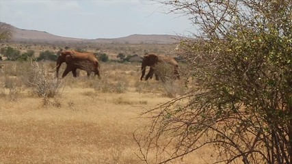 Elephants walking in Tsavo National Park - Kenya