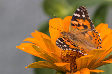 Painted lady Butterfly or Cosmopolitan