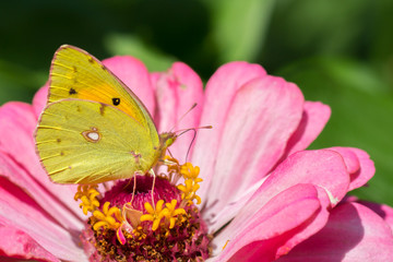 Clouded Yellow Butterfly Macro