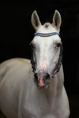 Andalusian stallion Caprichiosa in stable door