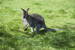 A Wallaby (Macropus Agilis) standing on grassland