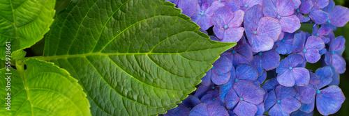 Blue hortensia banner