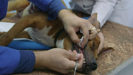 Dog medical examination at vet clinic