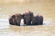 Three majestic indian elephants(Elephas maximus indicus) in lake