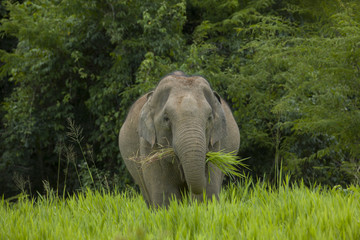 Wild elephant eating grass in the green field, thailand