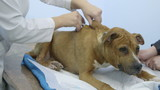 Veterinarian giving injection to dog