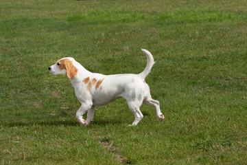 Beagle trotting purposefully across grass