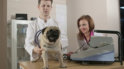 Vet Examining Pug Dog at Animal Clinic
