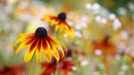 Rudbeckias swaying in the wind