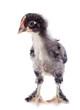 Marans chick