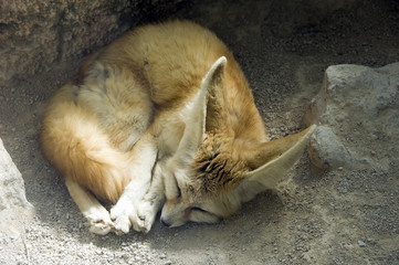 Fennec sleeping