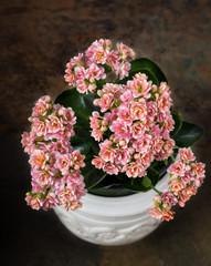 Multi-colored Kalanchoe in a white pot