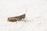 Grasshopper with ground grey camouflage at sand