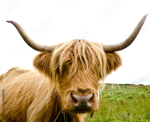 Foto op Canvas Koe Scottish Highland Cow
