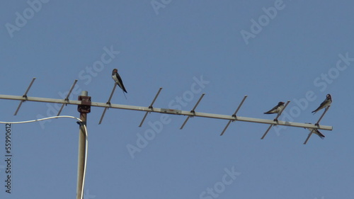 Swallows sitting on a TV antenna, on blue sky background
