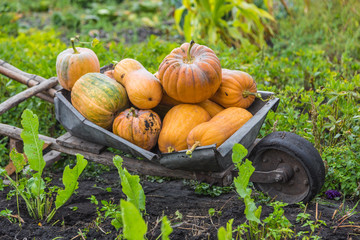 Pumpkins on a wheelbarrow.