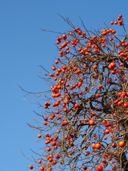 fruit has a lot of grew on persimmon tree