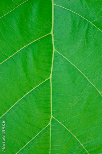 Green teak leaf,close up.