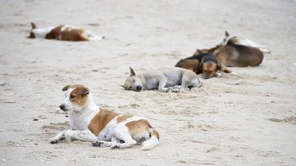 cute asia dogs sleep on the beach