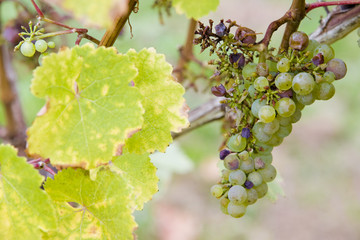 grapes (Müller - Thurgau), Germany