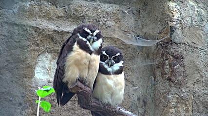 owls resting