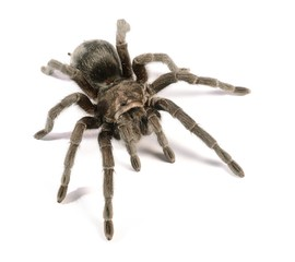 black tarantula Grammostola pulchra isolated