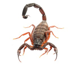 Scorpion Centruroides gracilis isolated on white. No shadow