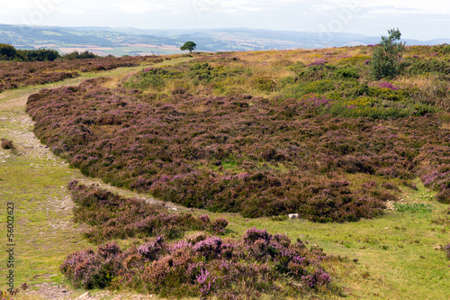 Top of Quantock Hills Somerset England purple heather