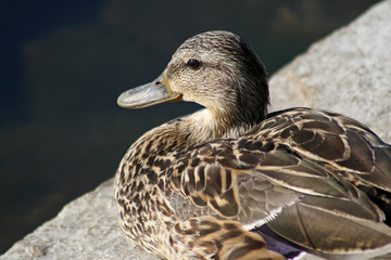 Mallard Duck Female - resting on rocky ledge along shoreline
