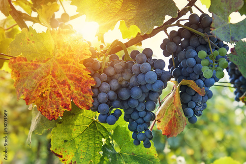 In de dag Wijngaard Bunch of black grapes