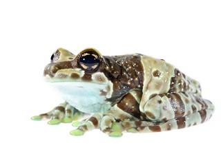 Golden-eyed tree frog Trachycephalus resinifictrix isolated