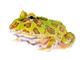 Ornate Horned Frog Ceratophrys ornata isolated on white poster