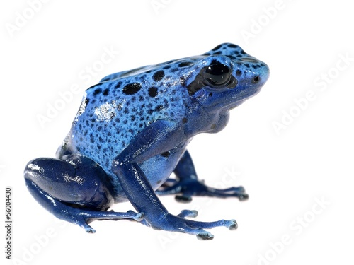 Blue dyeing dart frog Dendrobates tinctorius azureus isolated