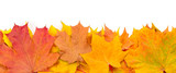 Fototapety Yellow autumn maple leaves isolated on white background