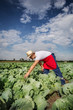 farmer in the field of cabbage with blue sky in the background