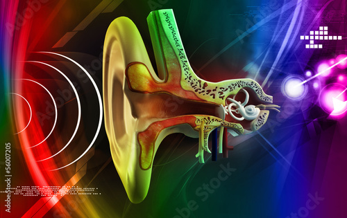 Ear anatomy